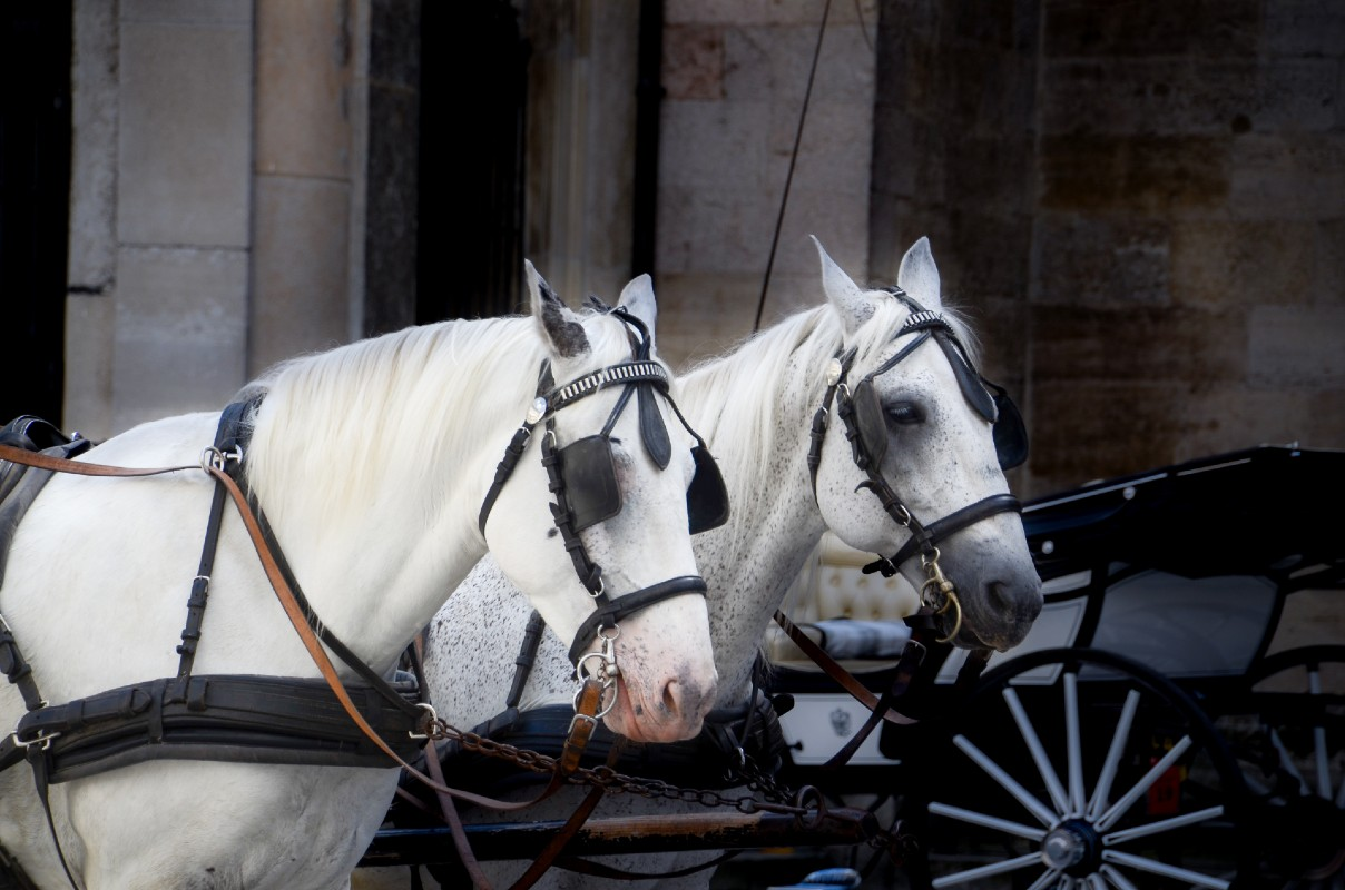 Two white horses and cart